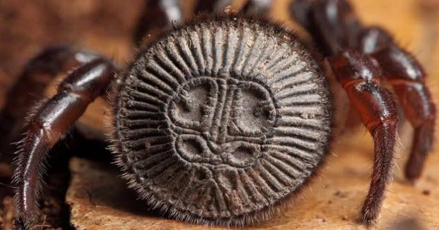 1-Ravine-Trapdoor-Spider