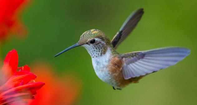 1-hummingbird_22708854_SMALL