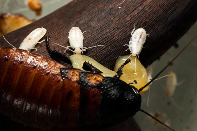 10-newborn-cockroaches_14693140_SMALL