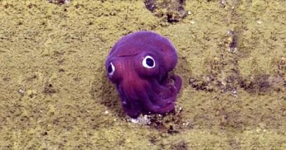 purple-stubby-squid
