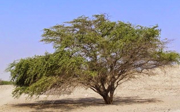 3-huarango-tree-peru