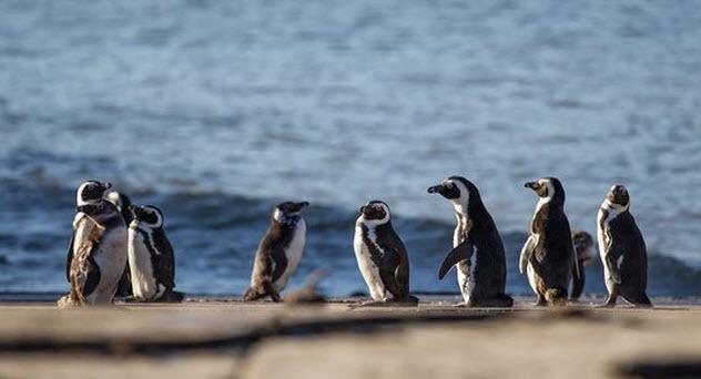 5-african-penguins