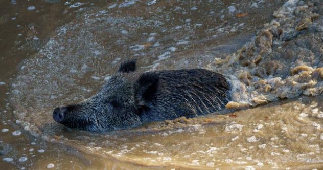 7-wild-boar-kakara
