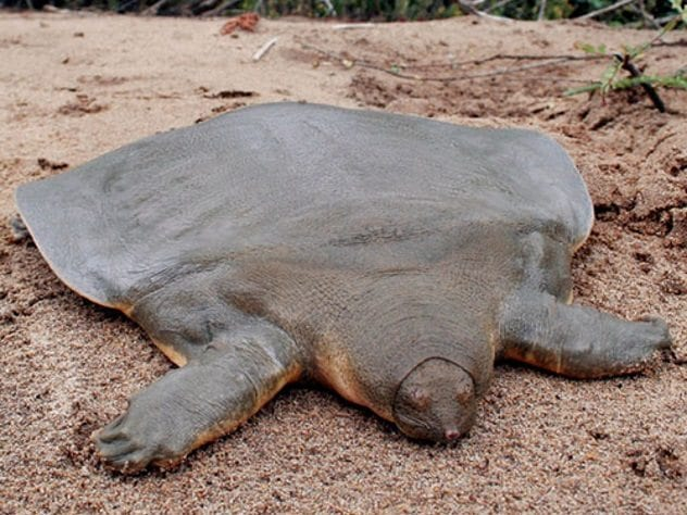 cantors-giant-softshell-turtle