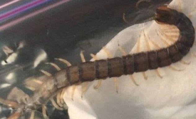grant-botti-centipede