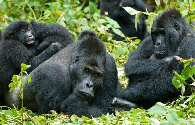 10a-gorillas-134206111