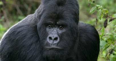 feature-b-gorilla-166141053