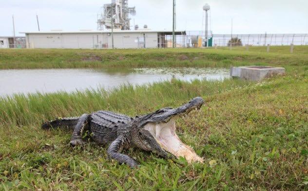 10a-alligator-at-nasa