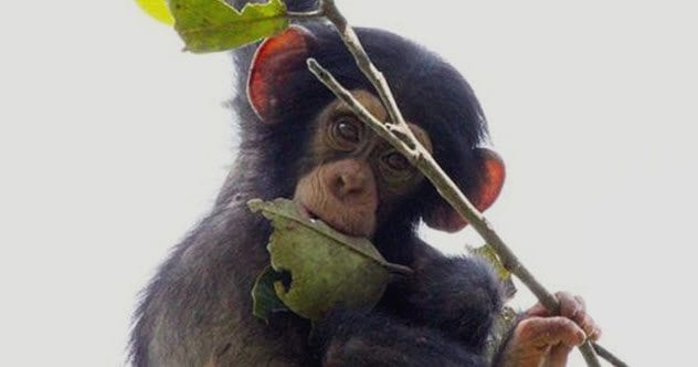 5b-young-chimp-with-stick