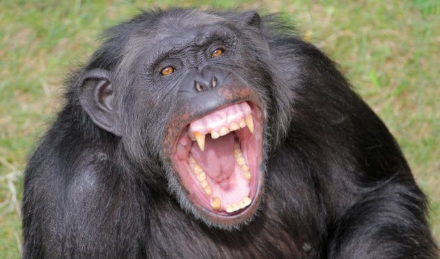 6a-angry-chimp-122203715