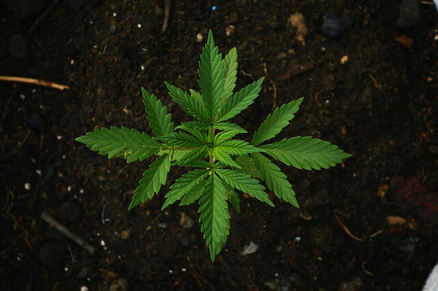 Lesotho Becomes the First Nation In Africa to Grant a Legal Licence for Growing Marijuana