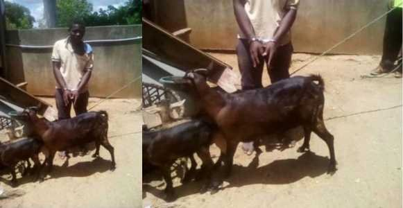 "Malawi: Man arrested for sleeping with goat claims ""I asked for its consent"""