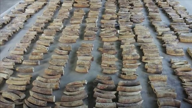 Largest Elephant Ivory Haul from DR Congo Seized in Singapore