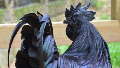 Ayam Cemani: The Most Expensive Chicken In The World - All Black