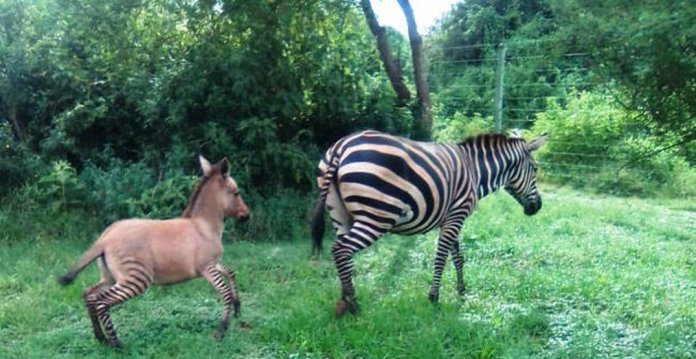 Kenya: Zebra Gives Birth To Rare 'zonkey' After Mating With A Donkey