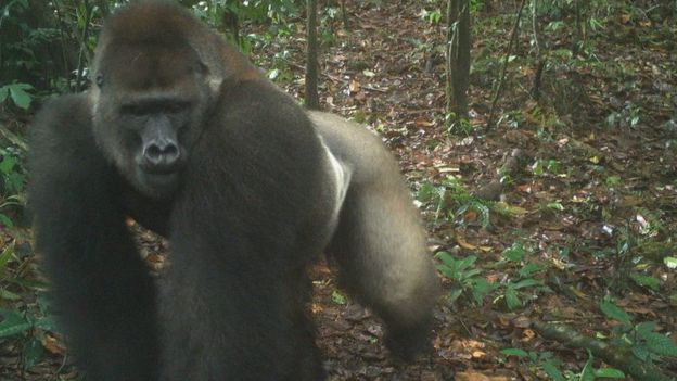 World's Rarest Gorillas Spotted in Nigeria for the First Time in Years