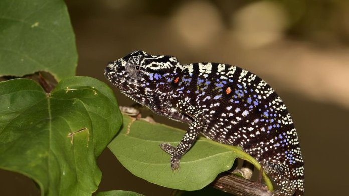 Chameleon Last Seen 100 Years Ago Rediscovered in Madagascar