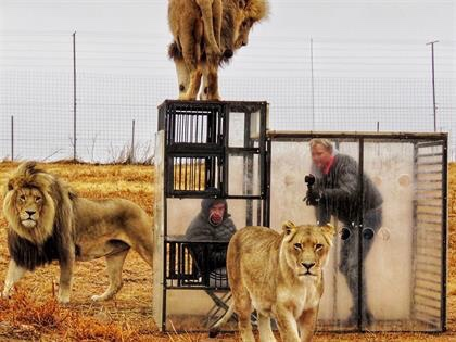 This Lion Sanctuary in South Africa Locks Visitors in a Cage