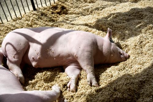 Pig at Fair