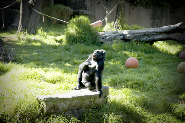 Gorilla at SF Zoo