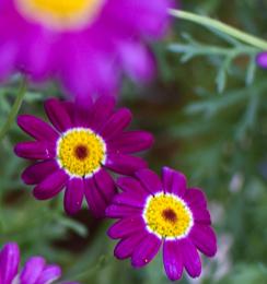 daisy blooms
