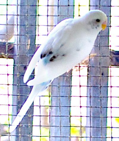 white parakeet