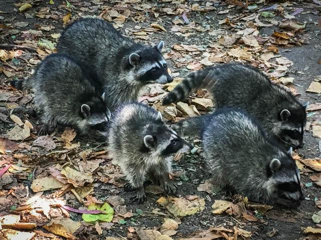 raccoons in Golden Gate Park