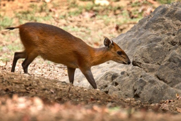 Red bcked Duiker