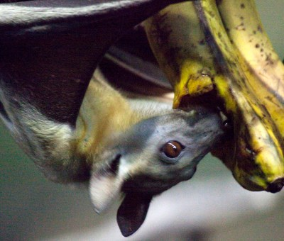 An Egyptian fruit bat eating a banana on exhibit at the Oregon Zoo. © Oregon Zoo / Photo by Carli Davidson
