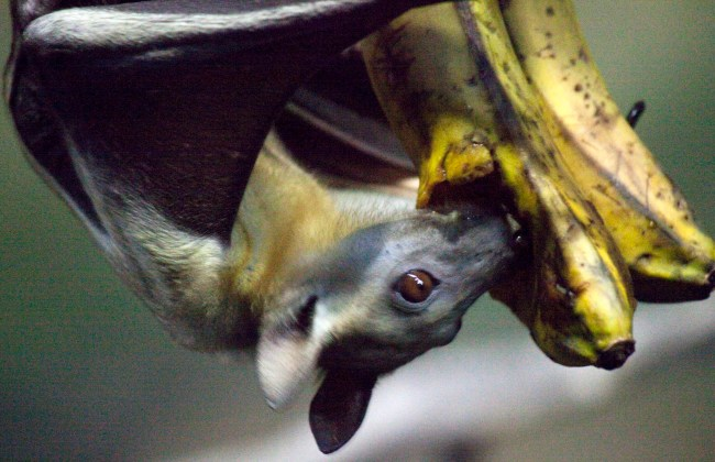 An Egyptian fruit bat eating a banana on exhibit at the Oregon Zoo.