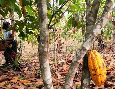 Mary David, mother of  six harvesting cocoa in her  plantation farm in  Ilutuntun camp in Odigbo Local Government Area, Ondo State.