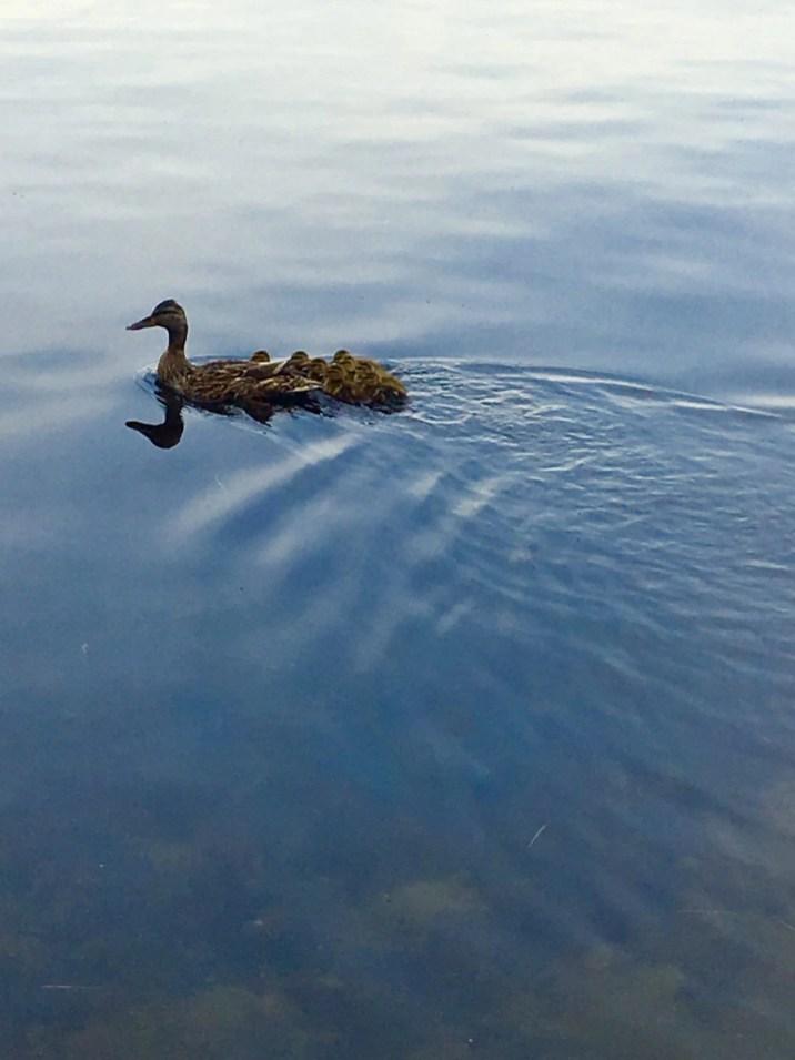 Lake Winnipesaukee Ducks