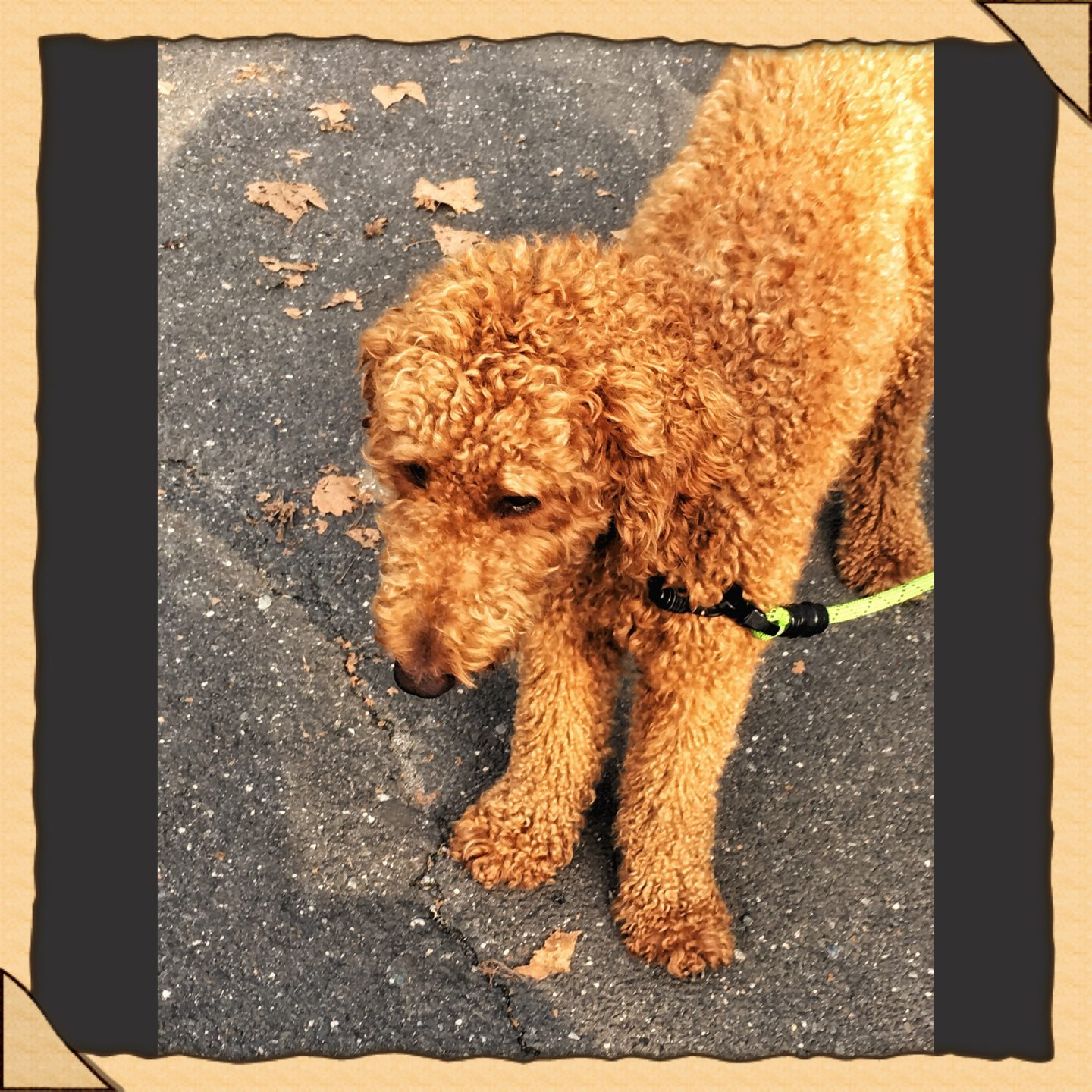 Golden Doodle in the Park