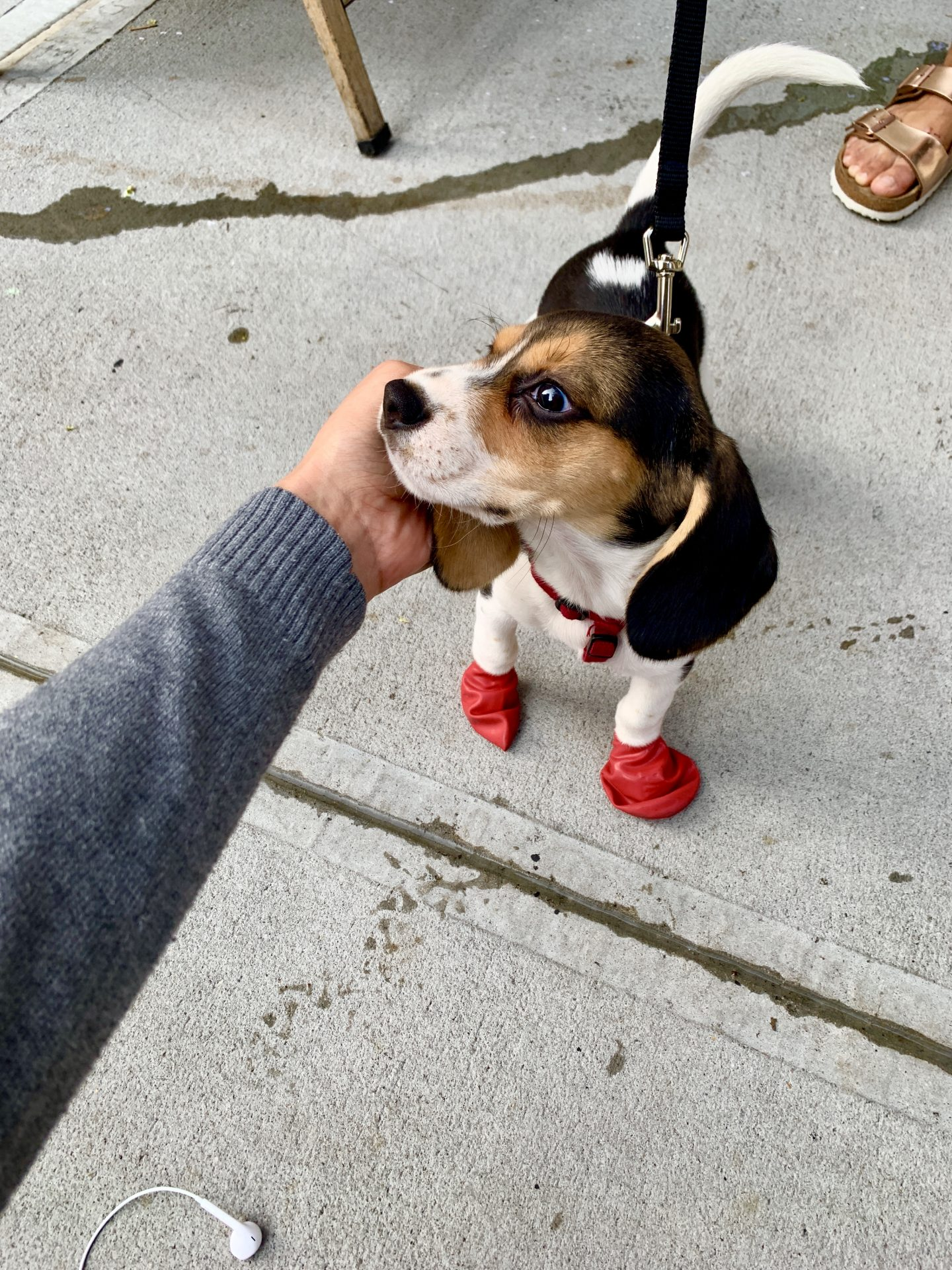 A cute puppy in New York City