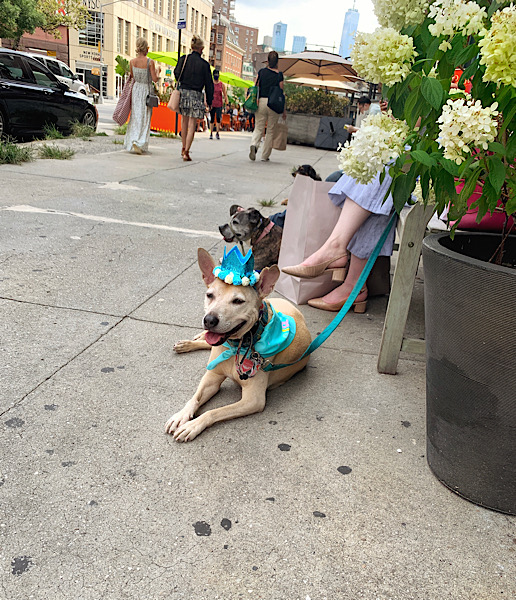 Cute dog celebrating her birthday in the West Village, seen during my In Five Years Literary Date