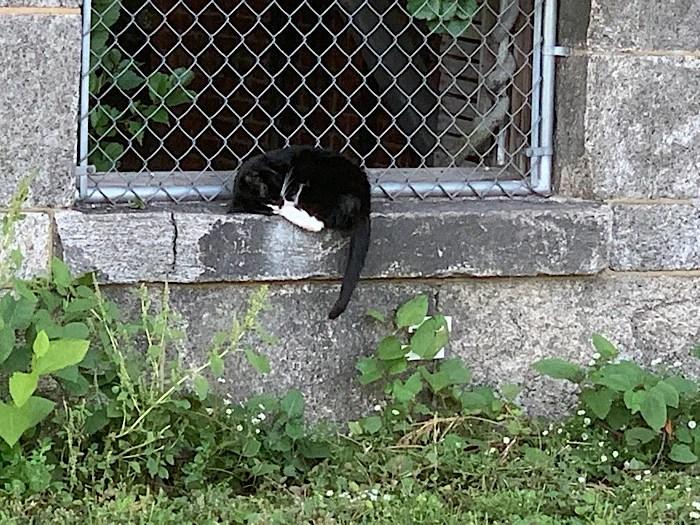 Tuxedo cat behind the Smallpox Memorial Hospital