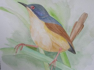 Ashy Prinia Exibited in the KinWild2014 exhibition of the Young Zoologists Association.