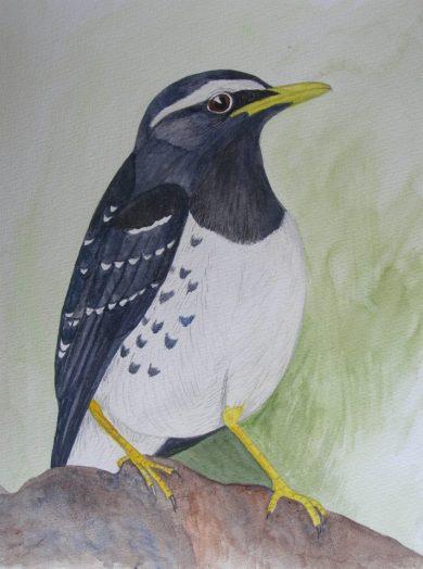 Pied Ground Thrush -male