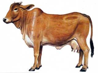 sahiwal-400