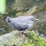 fledgeling