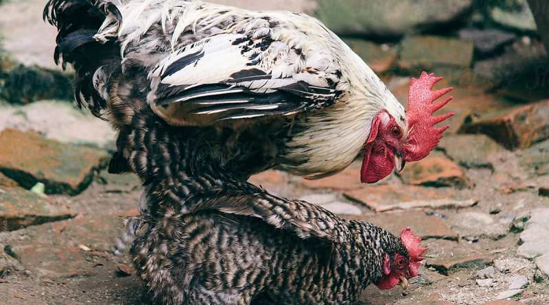 This is How Cock Mates Without Male Organ