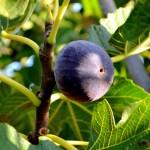 fig on fig tree