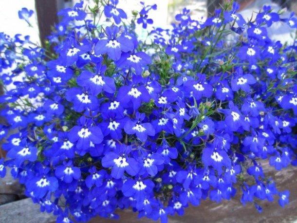 flowers japan 76