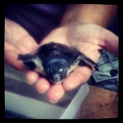 Disabled baby turtle born with half a flipper!