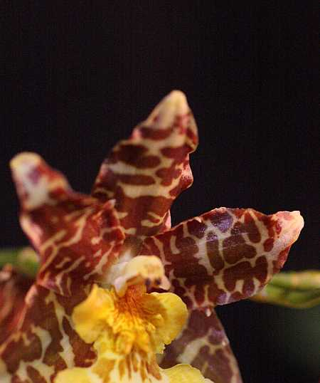star orchid (my name for it)