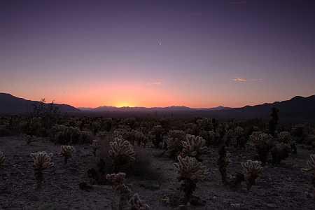 cholla field at sunrise