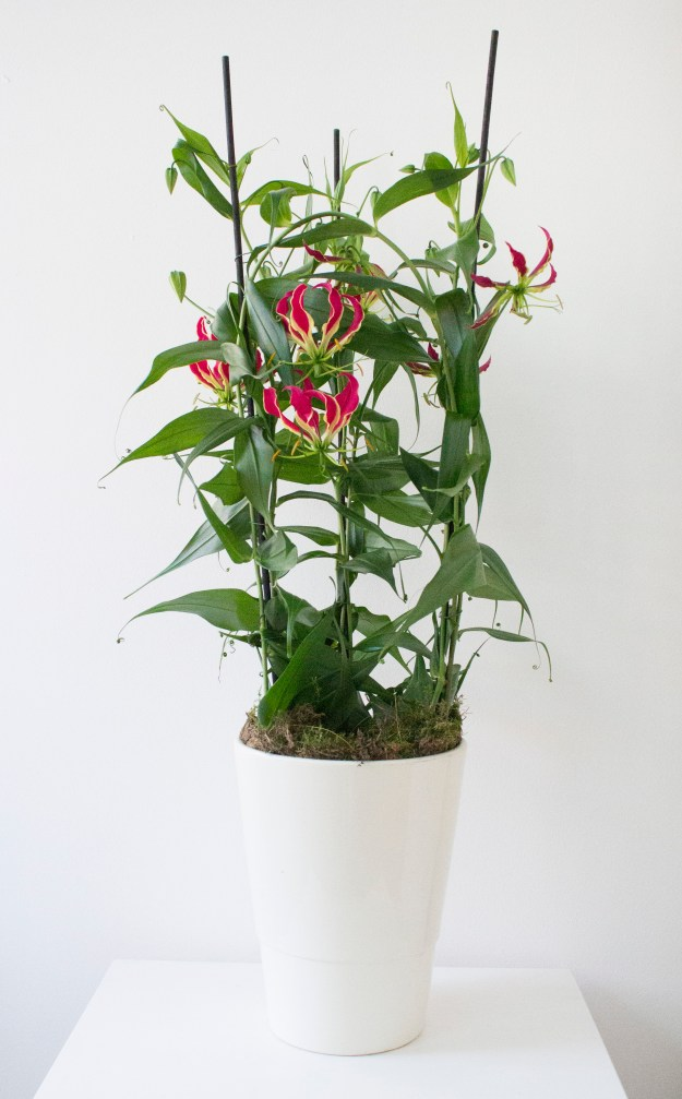 Gloriosa-houseplant-of-the-month-photo-by-Little-Big-Bell