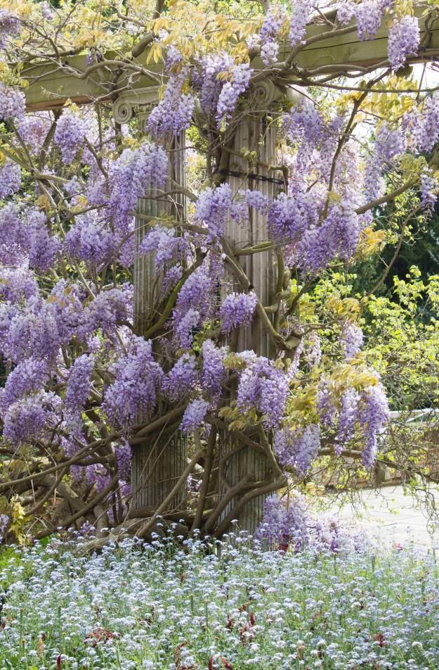 Wisteria-at-Eltham-palace-photo-by-Little-Big-Bell