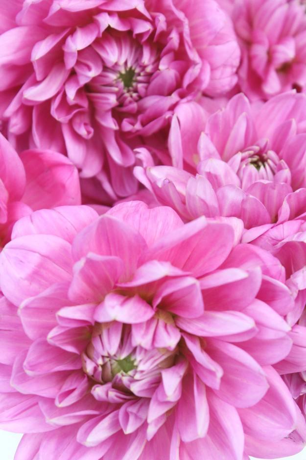 bright-pink-dahlias-Little-Big-Bell