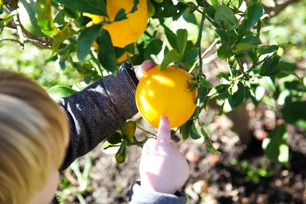 H picking lemons